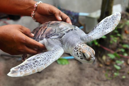 rescate tortugas caribe